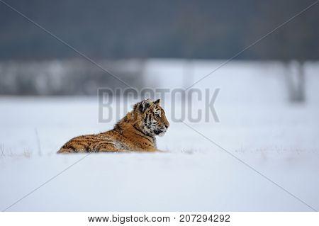 Amur tiger lying on snowy meadow. Siberian tiger in winter time.