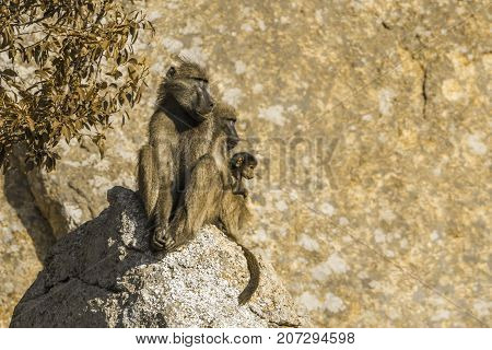 Chacma baboon in Kruger national park, South Africa ; Specie Papio ursinus family of Cercopithecidae