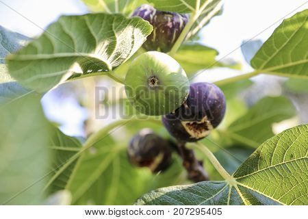 Growing fig fruits on branches of a fig tree. Horizontal. Close-up.