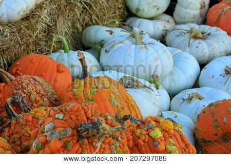 Assorted white and orange pumpkin squash with stalks by hay