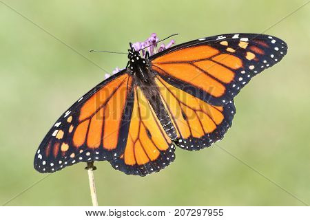 Male Monarch Butterfly (danaus plexippus) with flowers and a green background