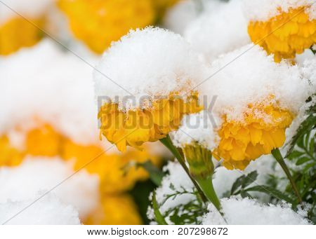 Yellow marigold flowers covered with first snow close-up
