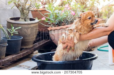 woman are bathing dog for pomeranian dogbeautiful little dog