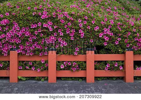 Kyoto, Japan -  May 17, 2017: Hedge of pink azalea flowers behind a traditionel red fence