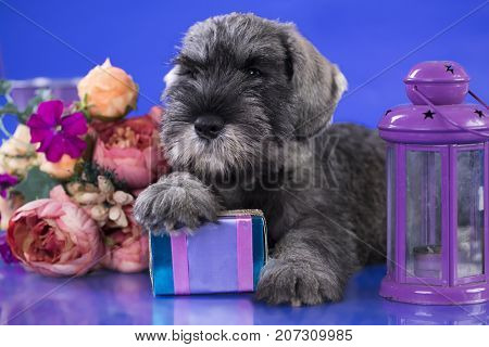mittel schnauzer puppy and gift in box