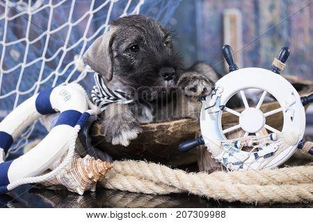 schnauzer puppy captain