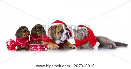 Christmas  english bulldog puppy and dachshund puppies and cat in santa claus costume