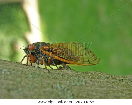 13-year Cicada