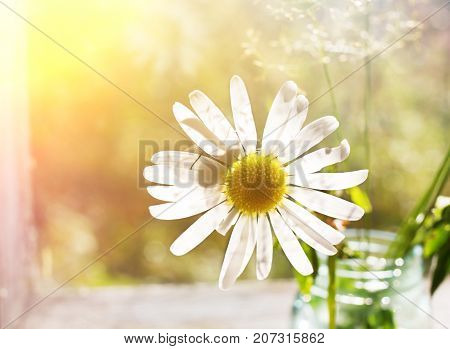 The fly on a chamomile petal in the sunlight