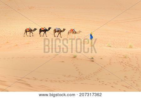 Berber Man Leading Camel Caravan In Erg Chebbi Sand Dunes In Sahara Desert Near Merzouga, Morocco