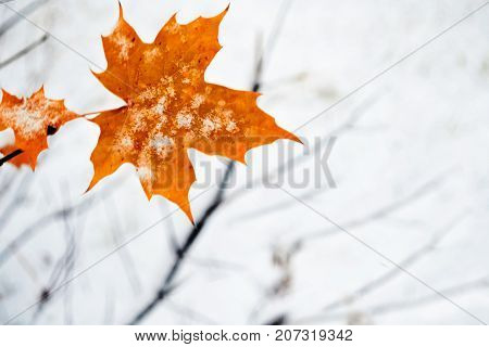 alone maple leaf in the snow. Winter blurred background.
