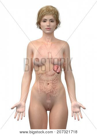 3d rendered medically accurate illustration of the female spleen