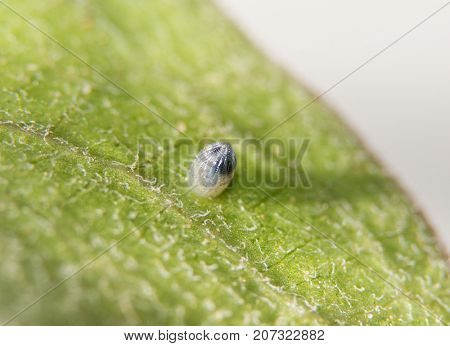 Monarch butterfly egg on a Milkweed leaf, with black parts of caterpillar visible, just before hatching