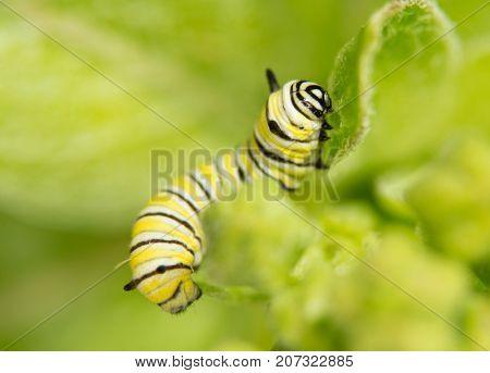 Second instar Monarch caterpillar eating a Milkweed leaf