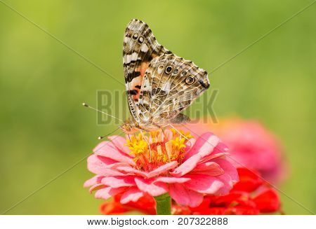 Beautiful Painted Lady butterfly feeding on a Pink Zinnia flower in sunny summer garden