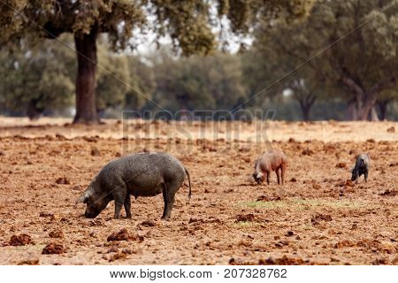 Iberian pig grazing among the oaks in the field of Spain
