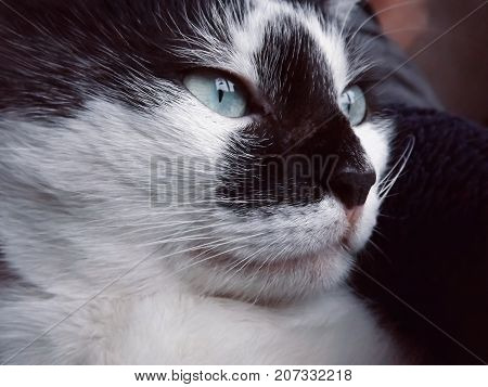Muzzle beautiful black and white cat with green - blue eyes and a predatory look