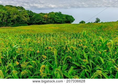 Maize field in the East Sussex countryside at summertime, England
