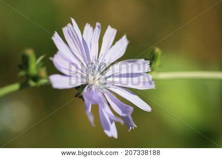 Chicory ordinary flower (lat. Chicory common) close-up