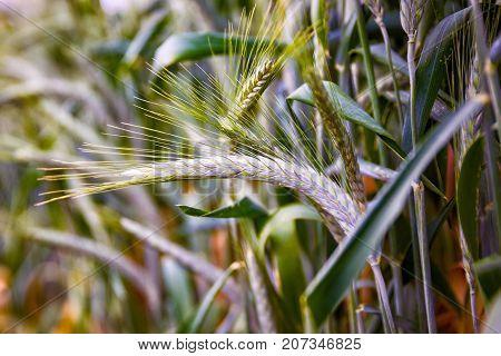 Green 'Triticale' wheat ears, hybrid of wheat and rye