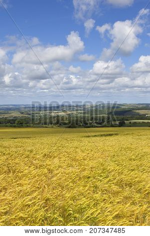Golden Barley And Hills