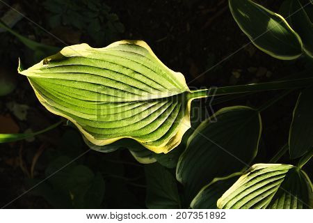 Hostas leaves illuminated by ray of sunshine on a dark background close-up