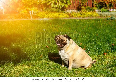 Pug dog snooze in sun rays sitting in a garden