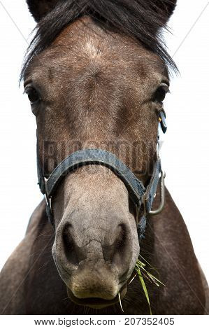 horse portrait, brown horse looking at camera