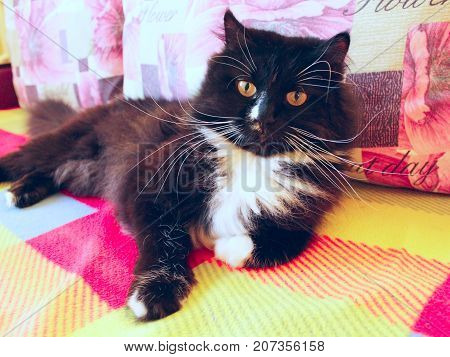 nice lazy black cat with big white whiskers lies on the colored sofa