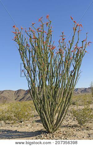Ocotillo in Bloom in the Desert in Joshua Tree National Park in California