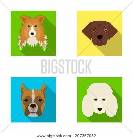 Muzzle of different breeds of dogs.Collie breed dog, lobladore, poodle, boxer set collection icons in flat style vector symbol stock illustration .