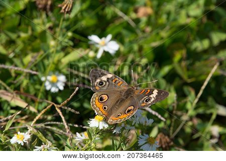 A Common Buckeye (Junonia coenia), feeding on wildflower nectar in a meadow in Frederick County, Maryland, USA.