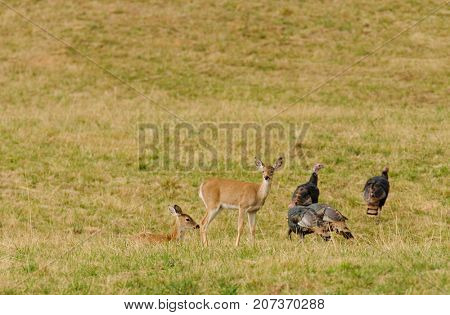 Whitetail deer and wild turkey's sharing the same habitat
