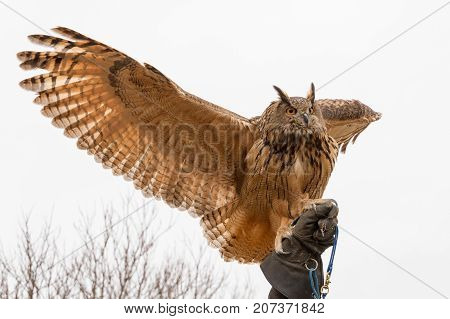Eurasian Eagle-Owl (Bubo Bubo) in captivity with wings spread perched on his trainer's (falconer) hand