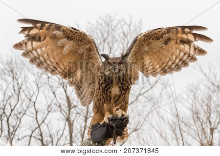 Eurasian Eagle-Owl (Bubo Bubo) in captivity with both wings spread perched on his trainer's (falconer) hand