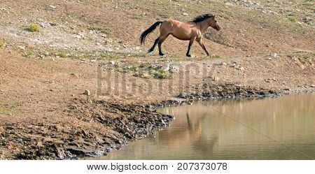 Bay Dun Buckskin Stallion wild horse running next to water hole in the Pryor Mountains Wild Horse Range on the state border of Montana and Wyoming United States