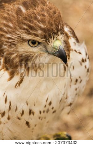 Upper Body Close Up of Red Railed Hawk in Captivity, Falconry