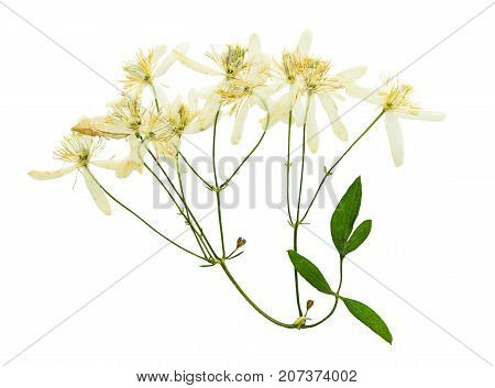 Pressed and dried flower clematis with green leaves. Isolated on white background. For use in scrapbooking floristry or herbarium.