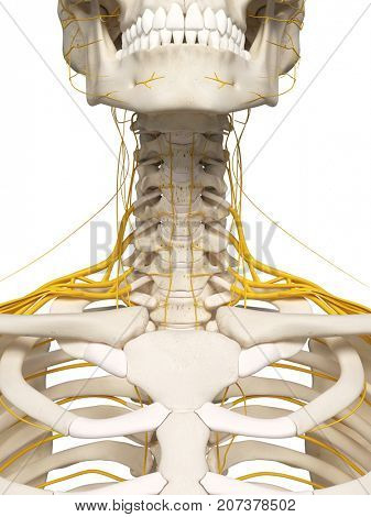 3d rendered medically accurate illustration of the neck nerves