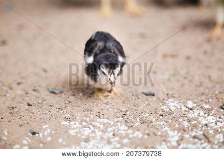 chicken,animal ,animals ,beak, bill, bird ,Chickens eat food by the ground.