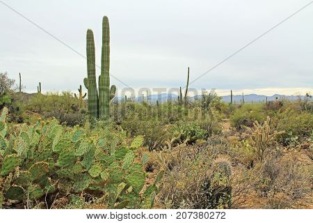A variety of vegetation in the Sonoran Desert in Saguaro National Park, Tucson, Arizona, USA with mountains in the background and a white sky copy space.