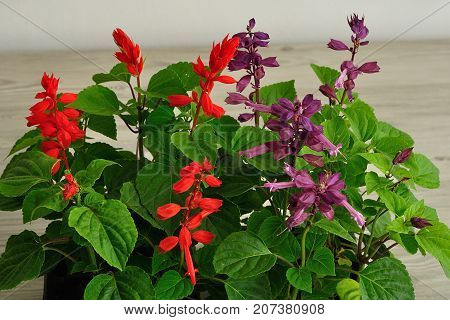 A tray of Salvia dwarf seedlings isolated on a wooden background