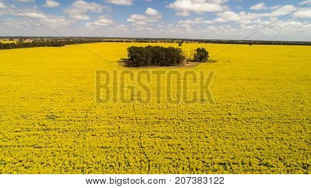 Aerial view of bright yellow canola crops surrounding trees on farmland in Narromine, New South Wales, Australia