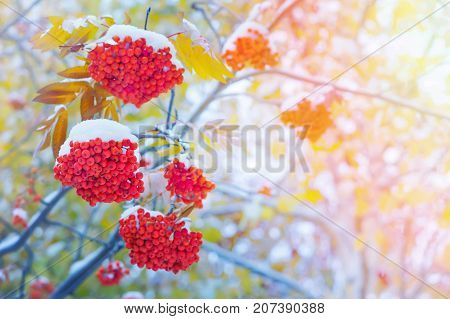 Snow-covered bright red rowan in the sunlight