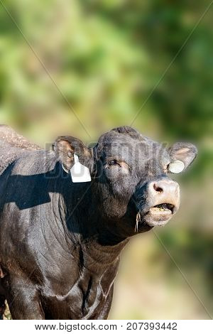 Black Angus cow bellowing with a gaussian blur background of greens
