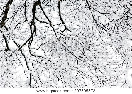 Abstract Boughs From A Snowy Tree