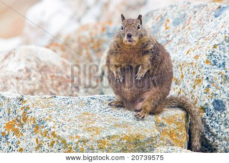 Overfed Fat Squirrel.