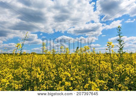 detail of flowering rapeseed field canola or colza plant for green energy and oil industry rape seed on blue sky background.