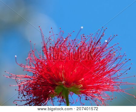 Red Metrosideros Excelsa Flower