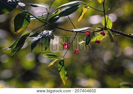 SPINDLE TREE - red fruit bush in autumn